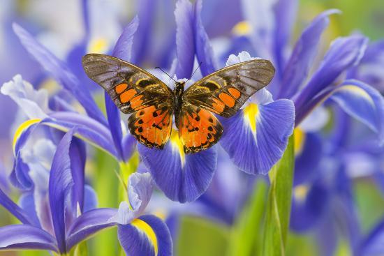 darrell-gulin-butterfly-graphium-rydleyanus