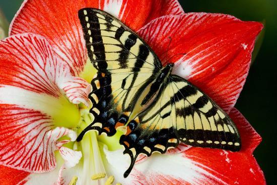 darrell-gulin-canadian-tiger-swallowtail-butterfly