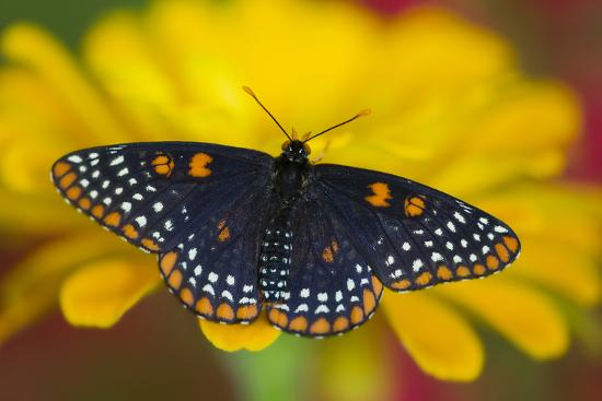 darrell-gulin-colorful-baltimore-checkered-spot-butterfly