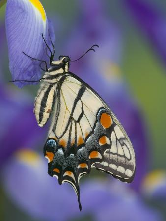 darrell-gulin-eastern-tiger-swallowtail-at-rest-on-a-dutch-iris
