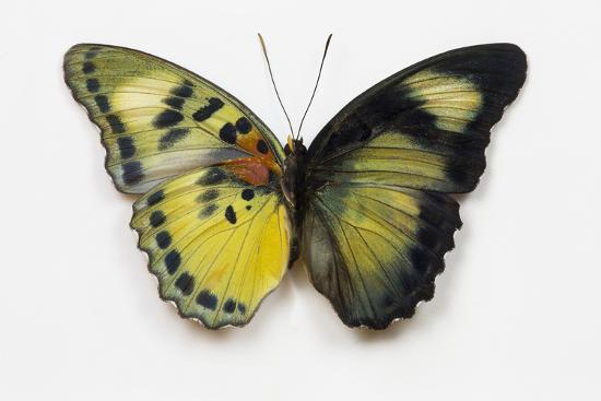 darrell-gulin-euphaedra-sp-from-africa-comparing-the-top-and-underside-of-its-wings