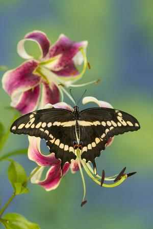 darrell-gulin-giant-swallowtail-butterfly