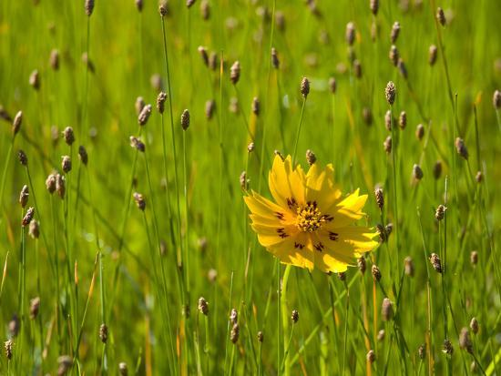 darrell-gulin-grass-heads-and-lone-coreopsis-flower-near-industry-texas-usa