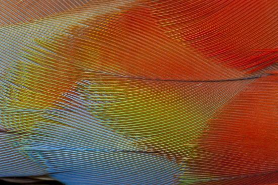 darrell-gulin-hawk-headed-parrot-feathers