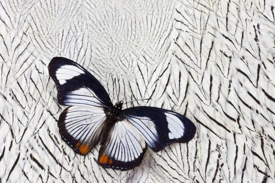 darrell-gulin-hypolimnas-usambara-butterfly-on-silver-pheasant-feather-pattern