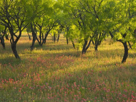 darrell-gulin-indian-paint-brush-and-young-trees-devine-area-texas-usa