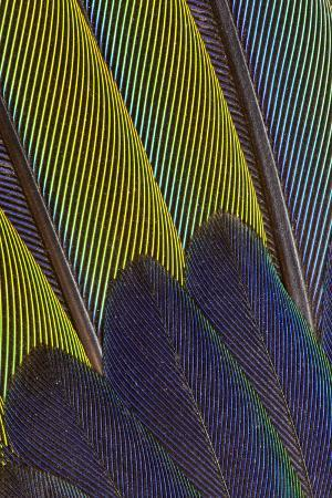 darrell-gulin-jenday-conure-wing-feather-detail