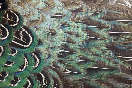 darrell-gulin-melanistic-pheasant-feather-pattern