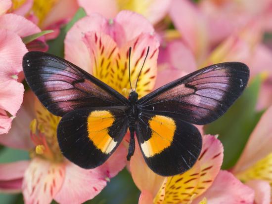darrell-gulin-miyana-meyeri-butterfly-on-flowers