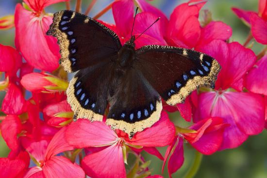 darrell-gulin-mourning-cloak-butterfly