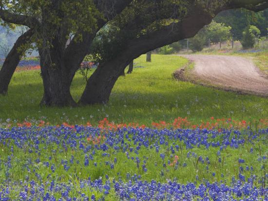 darrell-gulin-oak-trees-blue-bonnets-and-indian-paint-brush-near-gay-hill-texas-usa