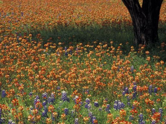 darrell-gulin-paintbrush-and-tree-trunk-hill-country-texas-usa