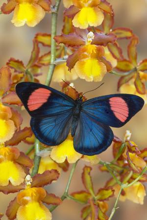darrell-gulin-painted-beauty-butterfly-from-the-amazon-region-batesia-hypochlora