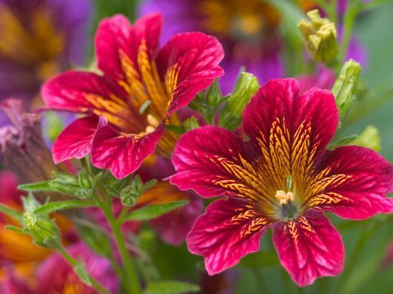 darrell-gulin-painted-tongue-blooms-sammamish-washington-usa