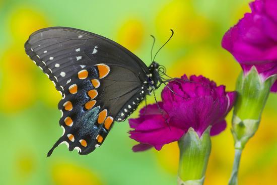 darrell-gulin-spicebush-swallowtail-butterfly