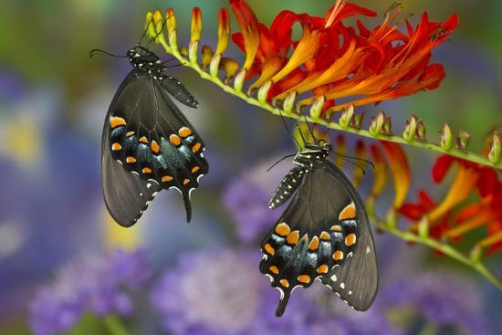 darrell-gulin-spicebush-swallowtail