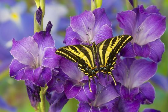 darrell-gulin-three-tailed-tiger-swallowtail-butterfly-papilio-pilumnus