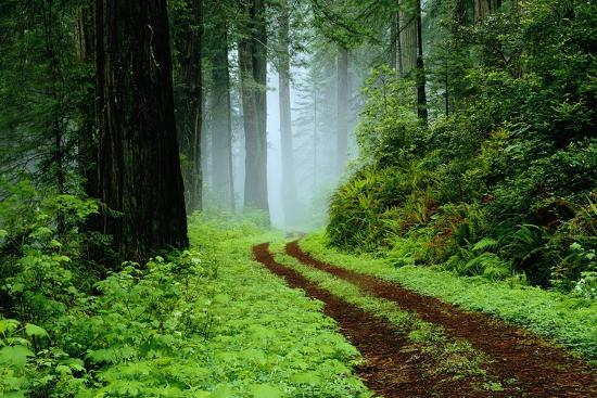 darrell-gulin-unpaved-road-in-redwoods-forest