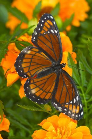 darrell-gulin-viceroy-butterfly-a-mimic-of-the-monarch-butterfly