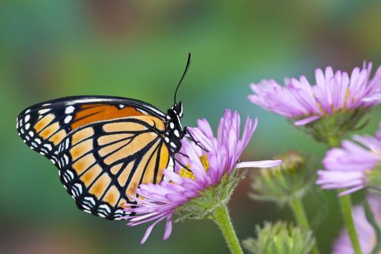 darrell-gulin-viceroy-butterfly-that-mimics-the-monarch-butterfly