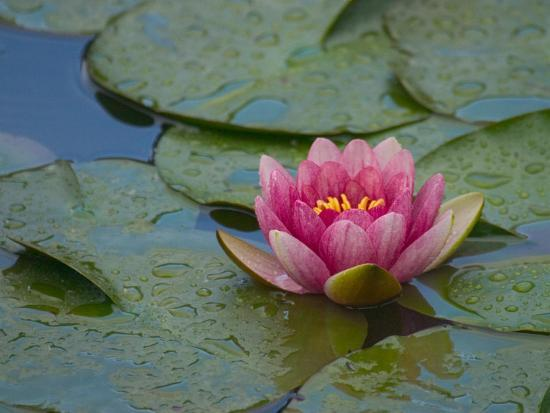 darrell-gulin-water-lily-in-the-japanese-gardens-washington-arboretum-seattle-washington-usa