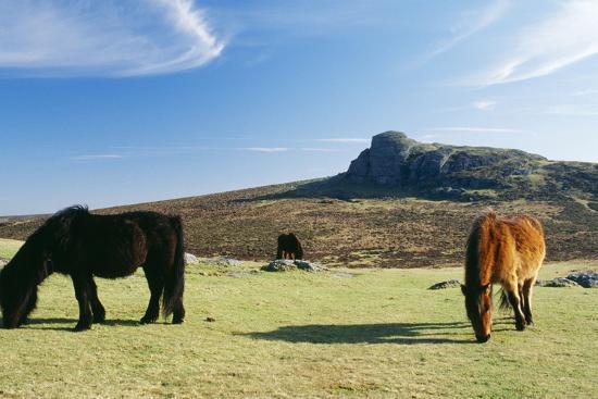 dartmoor-ponies-with-haytor-in-background