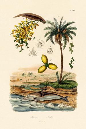 date-palm-1833-39