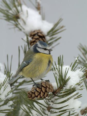 dave-watts-blue-tit-parus-caeruleus-on-a-snowy-branch-during-a-snowstorm-with-its-feathers-fluffed