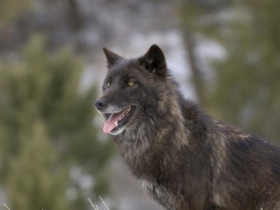 dave-watts-gray-wolf-head-dark-color-phase-canis-lupus