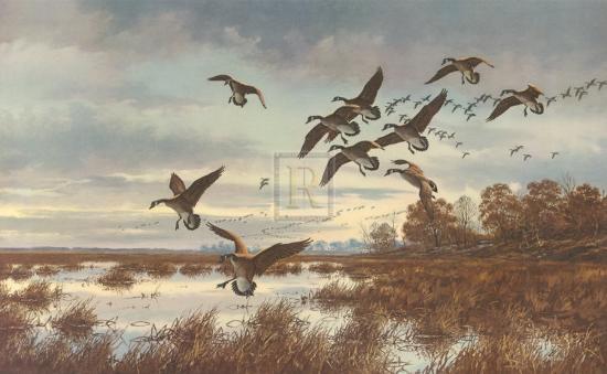 david-a-maass-coming-in-canada-geese