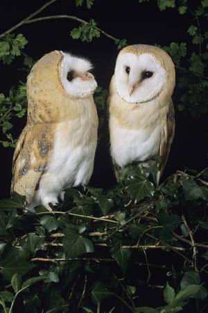 david-aubrey-barn-owls
