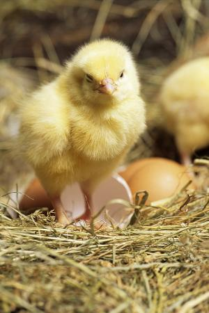 david-aubrey-chick