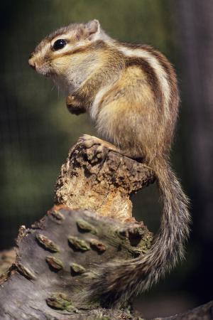 david-aubrey-chipmunk