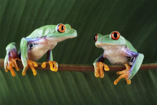 david-aubrey-red-eyed-tree-frogs