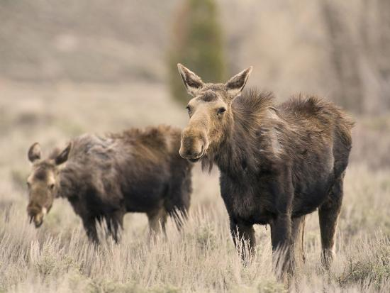 david-cobb-moose-adult-and-calf-alces-alces-grand-teton-national-park-wyoming-usa