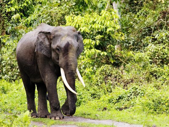 david-courtenay-asian-elephant-male-walking-on-track-assam-india