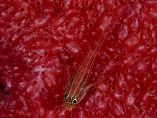 david-doubilet-a-triplefin-fish-on-tunicates