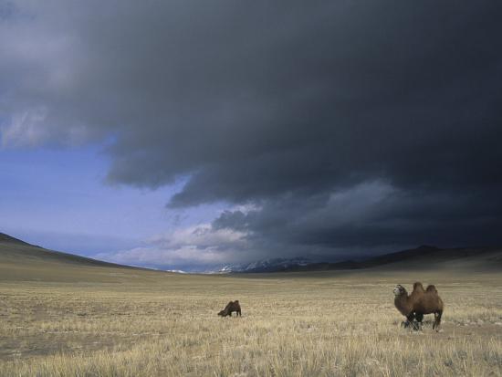 david-edwards-bactrian-camels-in-bayan-ulgii-mongolia