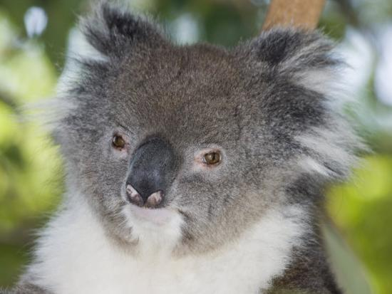 david-fleetham-koala-head-phascolarctos-cinereus-australia