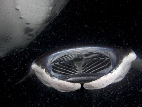 david-fleetham-open-mouth-of-a-manta-rays-manta-birostris-feeding-at-night-on-plankton-hawaii-usa
