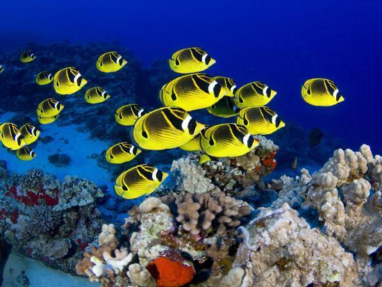 david-fleetham-schooling-raccoon-butterflyfish-chaetodon-lunula-hawaii