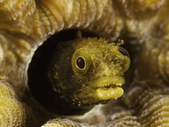 david-fleetham-spinyhead-blenny-acanthemblemaria-spinosa-in-a-hard-coral-netherlands-antilles-bonaire