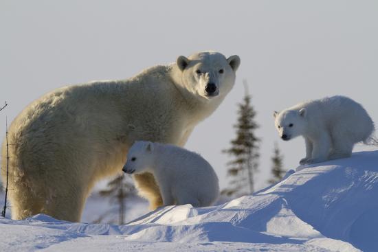 david-jenkins-polar-bear-ursus-maritimus-and-cubs-wapusk-national-park-churchill-hudson-bay-canada