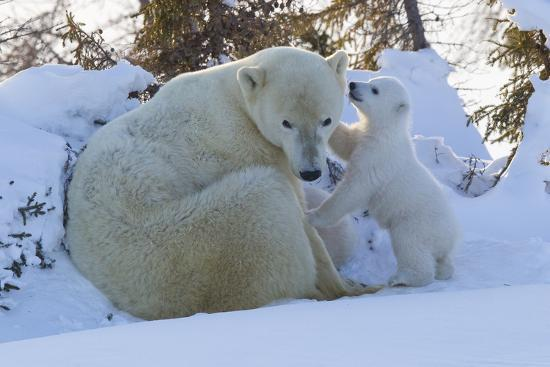 david-jenkins-polar-bear-ursus-maritimus-and-cubs