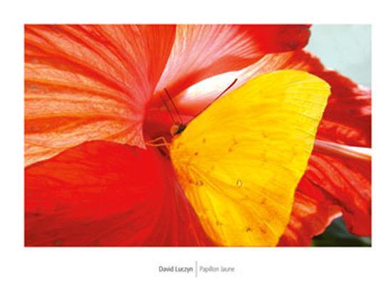 david-luczyn-yellow-butterfly