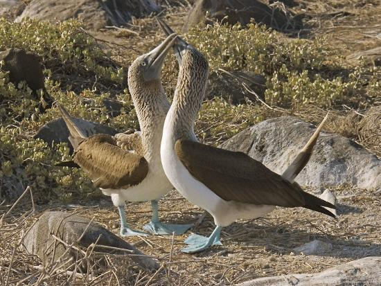 david-m-dennis-blue-footed-boobies-courtship-display-galapagos-ecuador