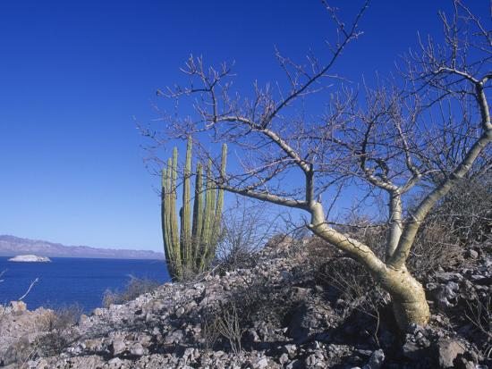 david-matherly-elephant-tree-or-torote-bursera-microphylla-sea-of-cortez-baja-california-mexico