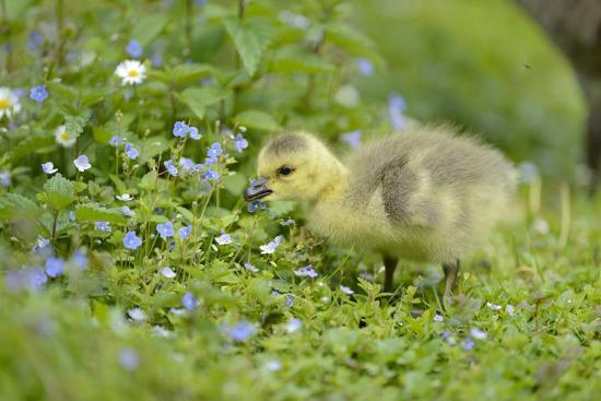 david-micha-sheldon-canada-goose-branta-canadensis-fledglings-meadow-side-view-standing