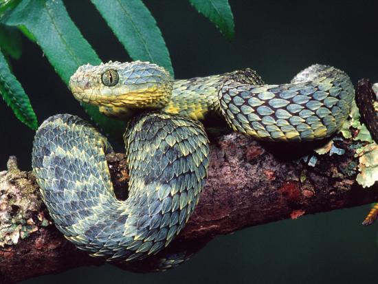 david-northcott-african-bush-viper