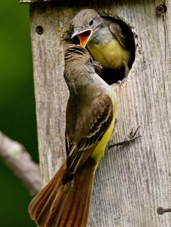 david-northcott-great-crested-flycatcher-myiarchus-crinitus-central-pennsylvania